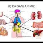 İç-organlarımız
