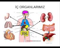 İç Organlarımız Yeri ve Görevleri Sunusu