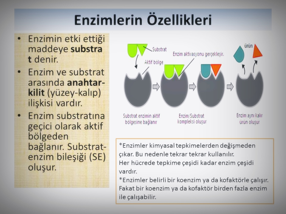 Biyoloji Enzimler Konu Anlatımı 2