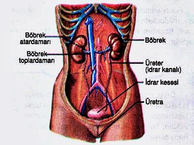 Boşaltım Sistemi Organları Ve Görevleri